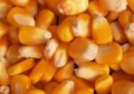 VC果园:2021今日全国玉米价格一览表(附最新行情走势分析)