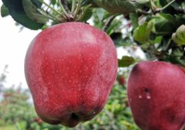 甘肃甘谷:互联网上卖起金苹果
