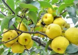 天津静海区:梨工业发展迅猛