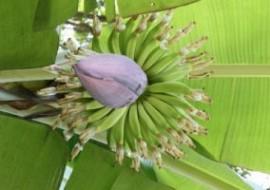 北疆种出了香蕉树——农业科技打破生果培育地域性