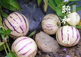 """VC果园""""抗癌之王""""——人参果"""