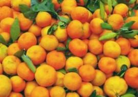 摩洛哥柑橘产量再创新高