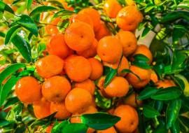 重庆人民注意!你被柑橘包围了!