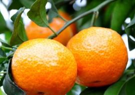 VC果园:湿冷的冬天来临,上海柑橘类获得丰收