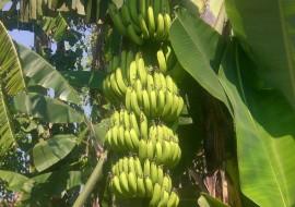 VC果园:今年香蕉产量下滑,价格持续上涨