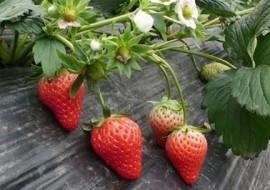 最具市场竞争力的草莓——四季草莓