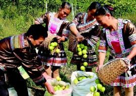 VC果园:广西百香果产业助贫困户脱贫
