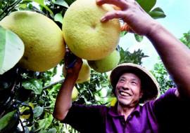 柑橘类霸占初冬生果市场,价格不高