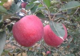 甘肃大地苹果产业带农致富