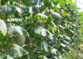 VC果园上新:海南西州蜜蜜瓜