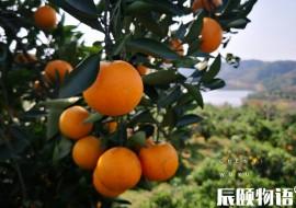 VC果园:麻阳冰糖橙