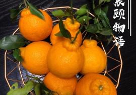 VC果园:不知火丑橘来袭
