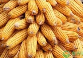 VC果园:今日玉米价格多少钱一斤?2020年全国玉米价格最新行情