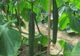 VC果园:黄瓜怎么选种?育苗方法有哪些?