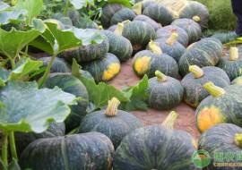 VC果园:南瓜怎么选种?育苗方法有哪些?