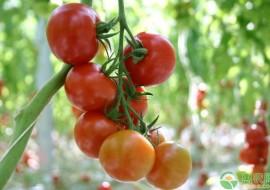 VC果园:西红柿怎么选种?育苗方法有哪些?