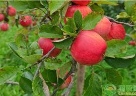 VC果园:苹果树苗什么品种最好?育苗方法有哪些?