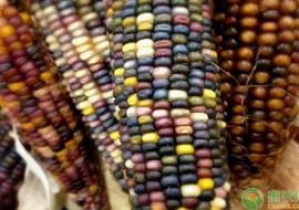 VC果园:玉米种子哪里有卖?怎么挑选及育苗?