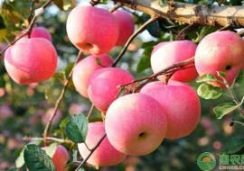 VC果园:苹果种子要选择怎样的?育苗方法有哪些?