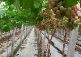 VC果园:葡萄种子怎么挑选?育苗方法有哪些?