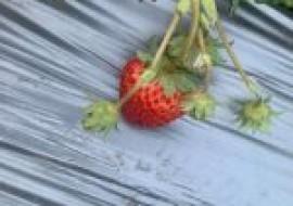 VC果园:草莓苗有哪些分级标准?不同的栽培方式该如何选择品种?