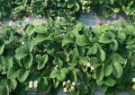 VC果园:2020年草莓苗批发价格多少钱一棵?哪里有卖?