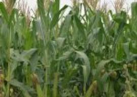 VC果园:现在玉米价格多少钱一斤?2020年3月份玉米价格走势预测