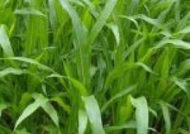 VC果园:墨西哥玉米草种子哪里有卖?育苗方法有哪些?