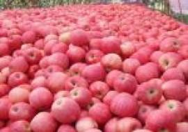 VC果园:现在苹果价格多少钱一斤?苹果后期价格行情走势分析