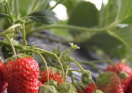 VC果园:2020年草莓价格多少钱一斤?影响草莓价格因素分析