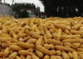 VC果园:赤峰市玉米现在多少钱?2020年玉米最新行情走势分析