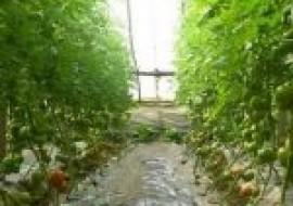 VC果园:现在西红柿价格多少钱一斤?附四月西红柿行情走势介绍