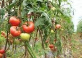 VC果园:催熟西红柿有哪些辨别方法?怎么吃西红柿能减肥?
