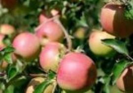 VC果园:农民种什么果树赚钱?这几个苹果新品种价值较高!