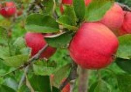 VC果园:现在苹果价格多少钱一斤?五一假期前后,苹果价格会上涨吗?