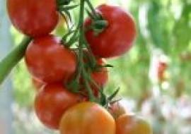 VC果园:西红柿怎么种植?