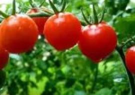 VC果园:西红柿什么时候种植?