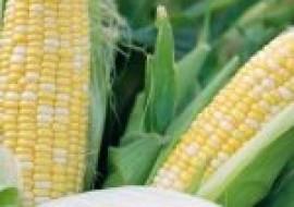 VC果园:水果玉米的种植前景如何?