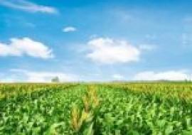 VC果园:水果玉米批发价格多少钱一斤?种植前景如何?