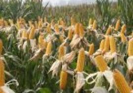 VC果园:玉米上都有哪些病虫害?