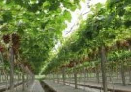 VC果园:如何解决葡萄软粒?
