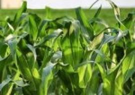 VC果园:2020下半年全国玉米价格行情预测