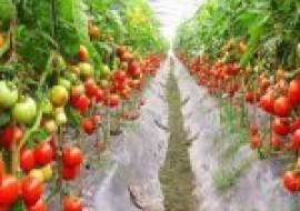VC果园:番茄怎么种?