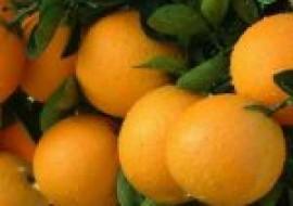 VC果园:最好吃的橙子排名
