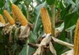 VC果园:2020玉米价格行情预测走势