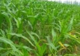 VC果园:玉米种子品种有哪些?各品种产量表现如何?