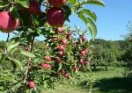 VC果园:最好的苹果树新品种有哪些?