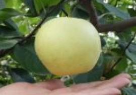 VC果园:苹果梨价格多少钱一斤?苹果梨是转基因水果吗?(附前景分析)