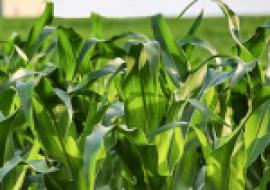 VC果园:2020年玉米价格会涨到11月份吗?玉米价格为何会上涨?