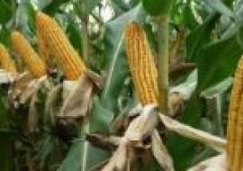 VC果园:今日玉米价格多少钱一斤?2020年10月玉米价格行情预测
